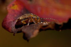 Viburnum leaf beetle, Pyrrhalta viburni. On a leaf stock photography