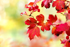 Viburnum leaves in autumn sunshine Royalty Free Stock Photos