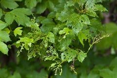 Viburnum liść uszkadzający viburnum liścia ścigą Obraz Royalty Free
