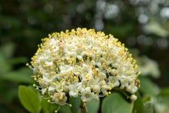 Viburnum-Viburnum macrocephalum Stockfotografie