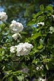 Viburnum macrocephalum flowers Stock Photography