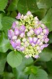 Viburnum macrocephalum Fort. Hydrangea Viburnum (Viburnum macrocephalum Fort.), Caprifoliaceae Viburnum are deciduous or semi-evergreen shrubs. Also known as the Stock Images