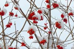 Viburnum maduro em um ramo sob a neve no inverno Fotos de Stock Royalty Free