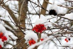 Viburnum maduro em um ramo sob a neve no inverno Imagens de Stock