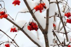 Viburnum maduro em um ramo sob a neve no inverno Imagem de Stock