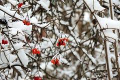 Viburnum maduro em um ramo sob a neve no inverno Imagem de Stock Royalty Free