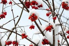 Viburnum maduro em um ramo sob a neve no inverno Foto de Stock