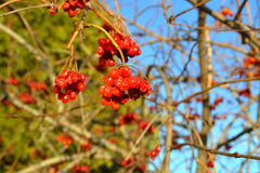 Viburnum. Mountain ash on a background of sky macro vitamins royalty free stock photo
