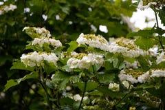 Viburnum na flor Fotografia de Stock Royalty Free