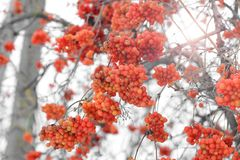 Viburnum na neve Inverno bonito imagem de stock royalty free