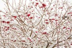 Viburnum nevado do inverno com bagas vermelhas Imagem de Stock
