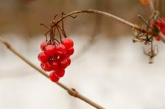 Viburnum no inverno Imagem de Stock