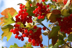 Viburnum Opulus Stock Photography