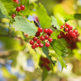 Viburnum Opulus. Red Viburnum berries on bush in sunlight royalty free stock image