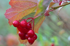 Viburnum opulus Royalty Free Stock Photography