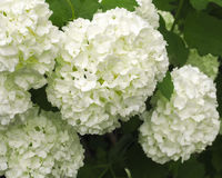 Viburnum opulus Stock Photo