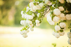 Viburnum opulus Compactum. Bush with white flowers Royalty Free Stock Image