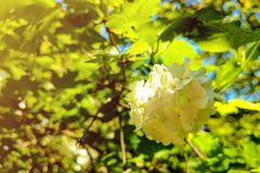 Viburnum Opulus Compactum Bush With White Flowers Selective Focus On Flowers Royalty Free Stock Image