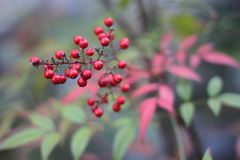 Viburnum Opulus Compactum Florin-Rose avec les baies rouges photo stock