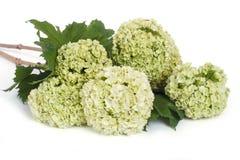 Viburnum opulus kwiaty odizolowywający na bielu Obrazy Royalty Free