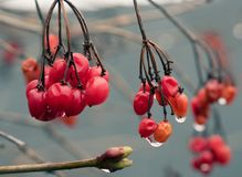 Viburnum Opulus red berry winter macro macro raindrops young escape maturity and youth life early spring. Red berry Viburnum winter raindrops early spring young Stock Photos
