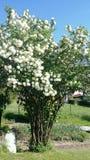 Viburnum Opulus Roseum - sneeuwbalboom stock afbeeldingen
