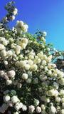 Viburnum Opulus Roseum - sneeuwbalboom royalty-vrije stock afbeeldingen