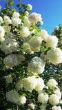 Viburnum Opulus Roseum - sneeuwbalboom stock fotografie