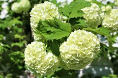 Viburnum Opulus, Roseum, white Snowball in blossom. Located in Malone, New York, United States royalty free stock photo