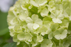 Viburnum opulus (Snowball) Royalty Free Stock Images