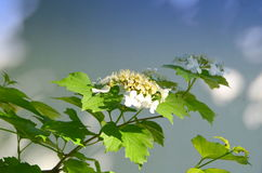 Viburnum Stock Photo