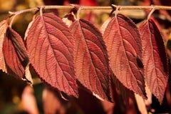 Viburnum Plicatum Lanarth obrazy stock