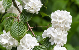 Viburnum plicatum. White Viburnum plicatum flower close up shot stock images