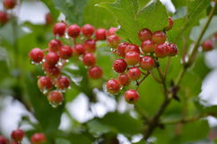 Viburnum after rain Royalty Free Stock Image