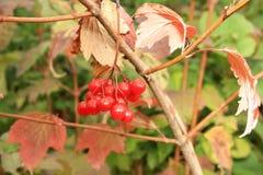Viburnum red. Close viburnum berries on a bush Royalty Free Stock Photos