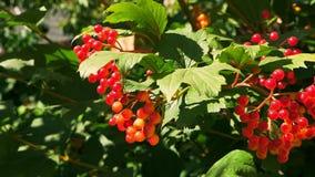 Viburnum red in autumn stock footage