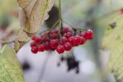 Viburnum. Red viburnum autumn with leafs Stock Photos