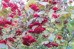 Viburnum. Red viburnum autumn with leafs Stock Images