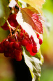 Viburnum red Stock Photo