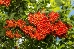 Viburnum - red berries on a bush Royalty Free Stock Photo
