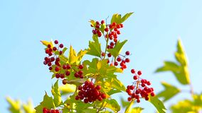 Viburnum red illuminated sun swinging on tree branches on a background of blue sky, summer day. stock footage