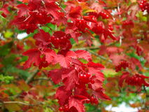 Cranberry bush red foliage and fruits at fall. Viburnum - common name European cranberry bush - with its stunning red leaves and fruits in late summer, beginning Royalty Free Stock Photo
