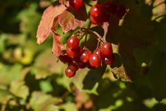 Viburnum. Red ripe fruit viburnum in an autumn sunny day royalty free stock image