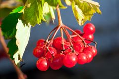 Red Viburnum Viburnum Royalty Free Stock Photography