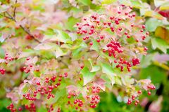 Viburnum. Ripe viburnum on the branch royalty free stock images