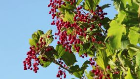 Viburnum ripe red berries stock video