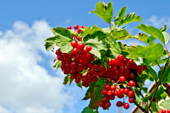 Viburnum ripe red on a branch Royalty Free Stock Photos