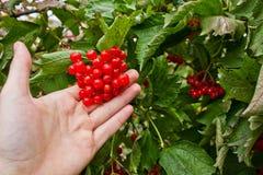 viburnum Rode bessen ter beschikking stock fotografie