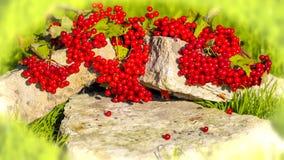 Viburnum rojo Foto de archivo