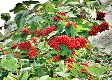 Viburnum rojo maduro en un árbol verde Fotos de archivo